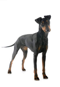 A female adult Manchester Terrier standing tall showing off it's beautiful, slender body