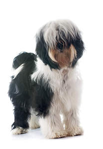 A healthy adult Tibetan Terrier showing off it's beautiful short legs and soft, scruffy coat