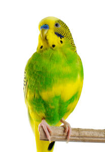 A Budgerigar's beautiful green and yellow chest