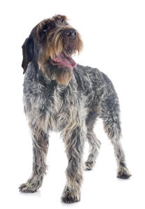 A lovely Korthals Griffon with a fantastic scruffy look