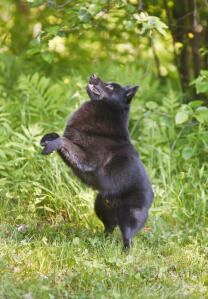 A healthy Schipperke playing outside in the grass