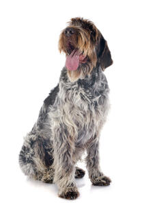 A beautiful, scruffy Wire Haired Pointing Griffon panting