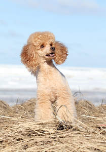 A healthy, adult Miniature Poodle sitting patiently, waiting to play