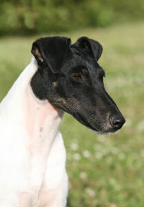 A Smooth Fox Terrier's incredible long, black nose and floppy ears