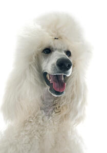 A close up of a Standard Poodle's beautiful, bushy ears and long nose