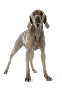 A young, grey coated Weimaraner standing tall, showing off its slender physique