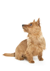 A scruffy australian terrier looking up for a command