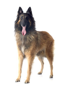 A Belgian Shepherd Dog (Tervueren) standing with his tongue out