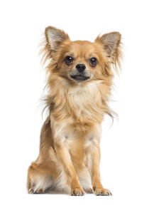 A beautiful little Chihuahua with a lovely soft coat and big, pointed ears