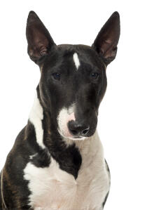 A close up of a Miniature Bull Terrier's beautiful, sharp ears