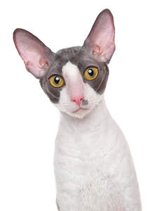 A beautiful bicolour cornish rex with golden eyes