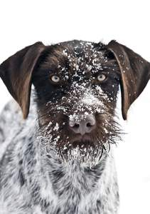 A close up of a German Wirehaired Pointer's snowy beard and and pointed ears