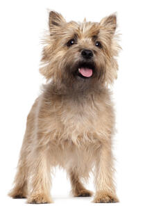 A young adult, light coated Cairn Terrier standing tall