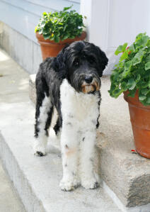 A beautiful black and white Portuguese Water Dog with incredibly tall legs
