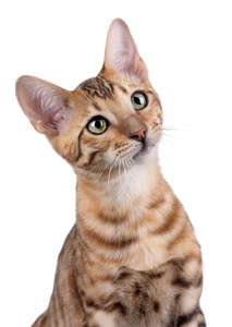 A curious toyger with its large ears