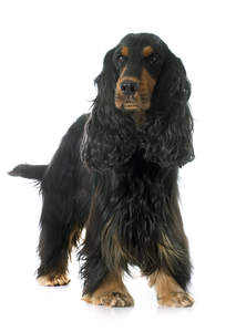 A long coated black and brown adult English Cocker Spaniel