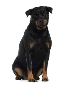 A beautiful, adult Rottweiler with a thick, healthy, black coat