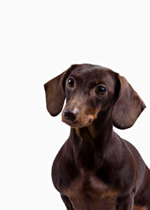 A young chocolate brown Dachshund with alert eyes and ears
