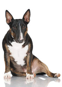 A beautiful, little Miniature Bull Terrier sitting very comfortably on the floor