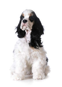 a cute american cocker spaniel with a striking black and white coat