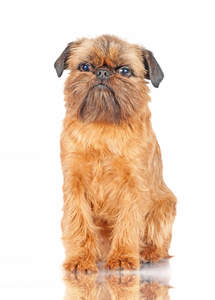 A long, brown coated Brussels Griffon sitting to attention