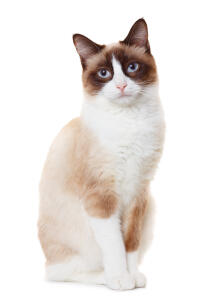 A perky snowshoe cat with its white paws
