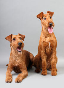 Two beautiful Irish Terriers sitting neatly, waiting for a command