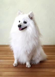 A beautiful little Japanese Spitz with a thick soft white coat