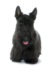 A beautifully groomed adult Scottish Terrier, showing off its long fringe and pointed ears