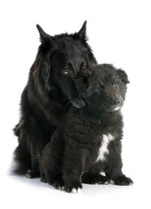 A loving Belgian Shepherd Dog (Groenendael) with her puppy