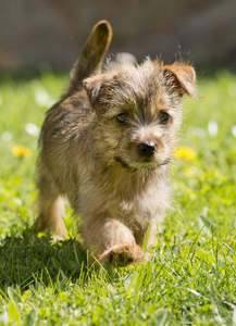 A Norfolk Terrier strolling along the grass, showing off it's beautiful tail