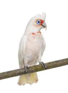 A Little Corella showing off it's beautiful fanned tail feathers