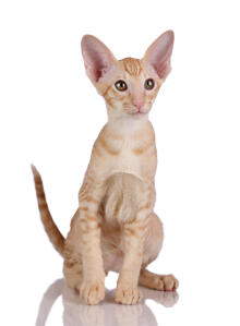 A lovely ginger tabby Oriental kitten