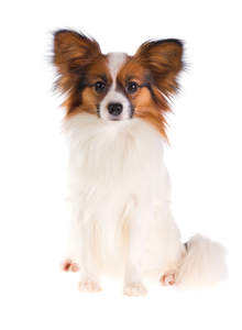 A fluffy Papillon with a well groomed coat