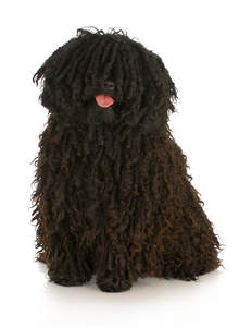 A lovely adult Puli with a healthy, brown corded coat