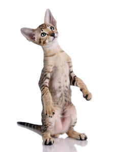 A cute tabby Oriental standing on its legs