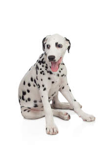 A lovely little Dalmatian puppy sitting comfortably