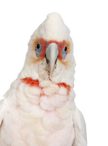 A close up of a Little Corella's beautiful eyes