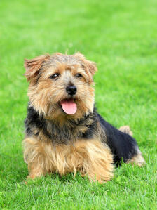 A mature, adult Norfolk Terrier, resting on the grass