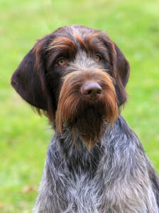 A wonderful Wire Haired Pointing Griffon's scruffy beard and wiry coat