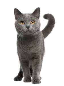 a happy chartreux cat with a curled tail