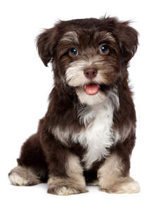 a brown and sandy Havanese puppy