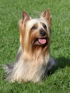 A beautiful, little, long coated Silky Terrier sitting patiently on the grass