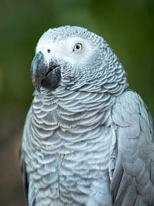 A African Grey Parrot's wonderful, grey and white chest feathers