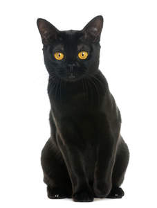 An intensely black bombay cat sitting down