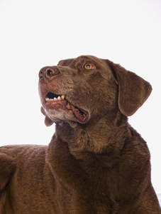 A chesapeake bay retriever with a lovely chocolate brown coat