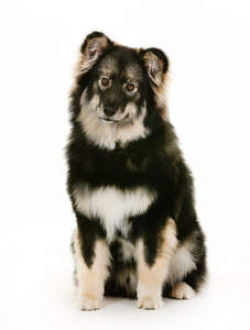A mature Finnish Lapphund with a wonderful thick coat