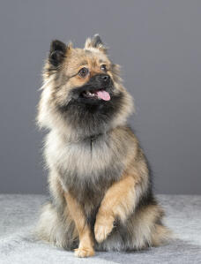 A wolfy little German Spitz (Klein)