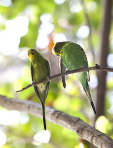 Two beautiful Budgerigars perched on a branch together