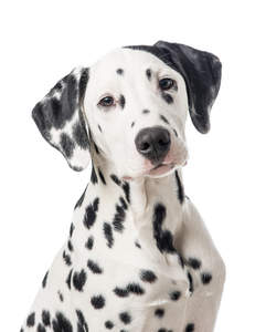 The characteristic floopy ears and spotted face of a lovely young Dalmatian puppy